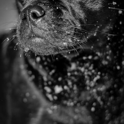 Pug and Swedish Farm Dog Mix