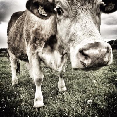 Scandinavian Dairy Cow