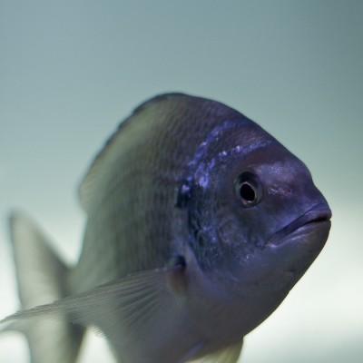 Australian Riverfish